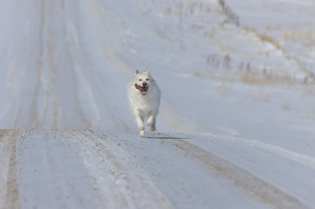 Dog Running on country road winter rural Canada Stock Photo - 9151786
