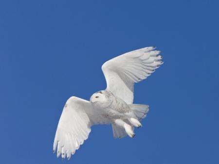 Snowy Owl in Flight in Saskatchewan Canada Stok Fotoğraf