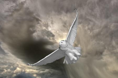 Snowy Owl in Flight in Saskatchewan Canada Stock Photo
