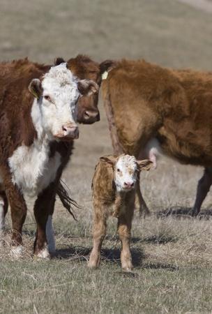 Newborn Calf and cows in field Canada photo