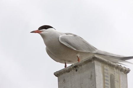 flit: Common Tern perched in Saskatchewan Canada