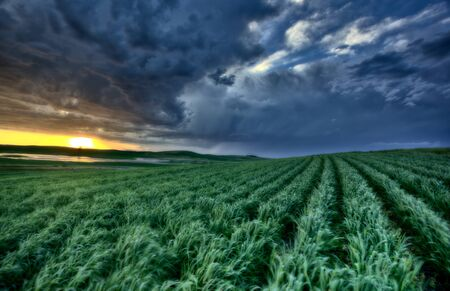 sunset nad durum wheat crop storm clouds photo