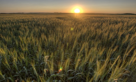 Prairie Grass Crop Sunset Saskatchewan Canada wheat photo