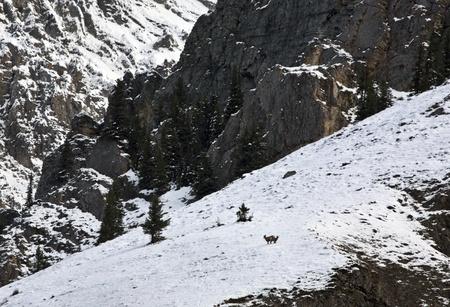 Mountain Sheep Montagne Rocciose Alberta Canada Inverno Archivio Fotografico - 11681507