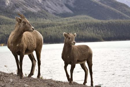 Rocky Mountain Sheep Alberta Canada young kid Stock Photo - 11681505