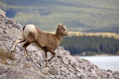 rocky mountain bighorn sheep: Rocky Mountain Sheep Alberta Canada young kid