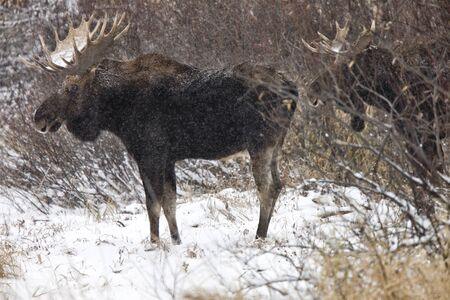 Bull Moose in Winter Saskatchewan Canada close up