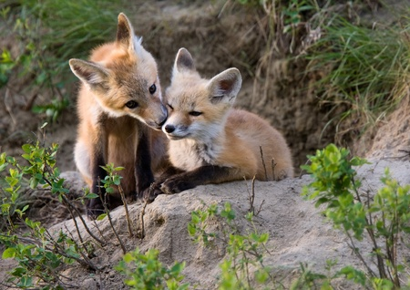 Fox Kits Canada at play Saskatchewan Canada photo