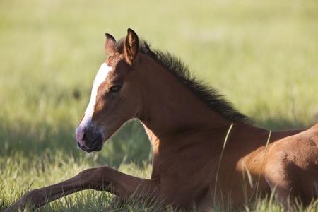 Colt newborn in field Sasktchewan Canada Mother Love 写真素材