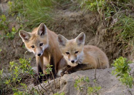 Jóvenes Fox Kit Sistema de juego Saskatchewan Canadá Foto de archivo - 12506878
