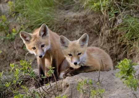 Young Fox Kit kits playing Saskatchewan Canada 免版税图像