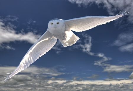 Snowy Owl in Flight winter Saskatchewan Canada