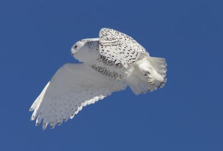 Snowy Owl in Flight winter Saskatchewan Canada Stock Photo - 12506807