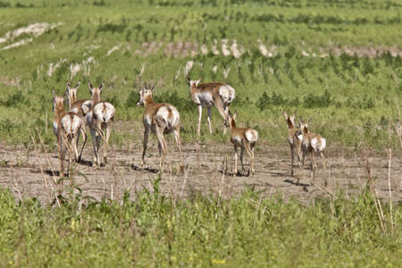 Pronghorn Antelope With Young Babies Saskatchewan Canada photo