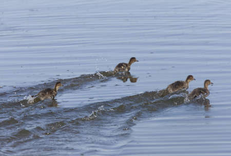 Baby Ducks Swimming Quickly in Saskatchewan Canada Stock Photo