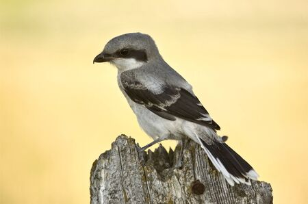 Gray Grey Jay Young Baby on post Canada photo