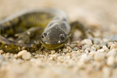 Close up Tiger Salamander on road Canada photo