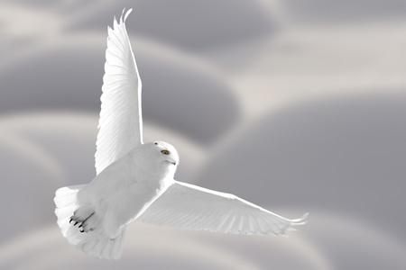 snowy owl: Snowy Owl in Flight winter in Saskatchewan Canada