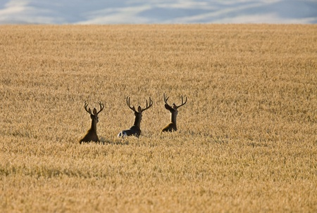 deer hunting: Mule Deer in Wheat Field in Fall Alberta Canada Stock Photo