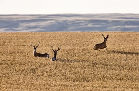 Mule Deer in Wheat Field in Fall Alberta Canada photo