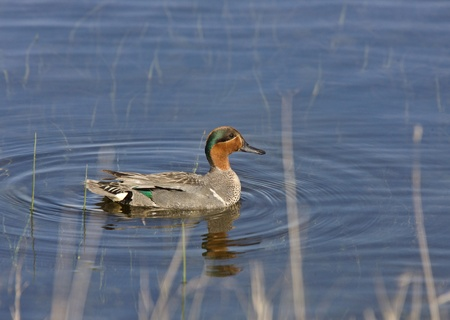 Green Winged Teal in Pond Saskatchewan Canada photo
