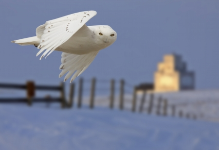 Snowy owl in Flight in winter Canada photo