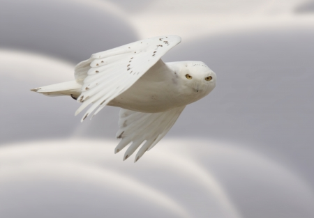 Snowy owl in Flight in winter Canada