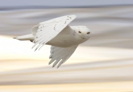 snowy owl: Snowy owl in Flight in winter Canada