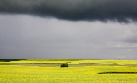 Storm Clouds Saskatchewan Canola field yellow color Stock Photo - 16227060