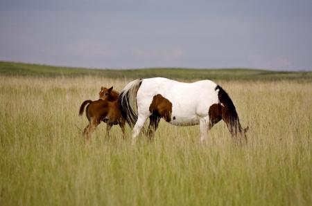 Horse mare and  Saskatchewan Field beautiful