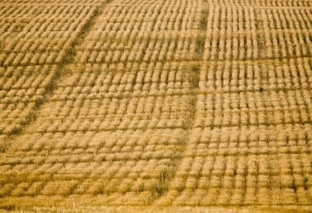 Combined Field pattern in Saskatchewan Canada sunset Фото со стока