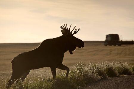 Prairie Moose in field in Saskatchewan Canada Stock Photo - 16226295