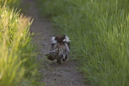 Skunk running down Prairie country road Saskatchewan Stock Photo - 16230960