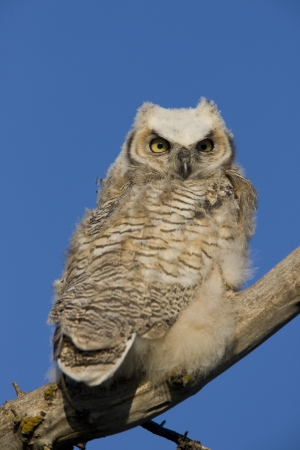 Great Horned Owl owlet perched in tree branch Imagens - 16230423