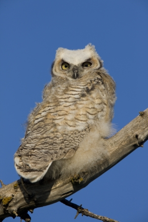 Great Horned Owl owlet perched in tree branch