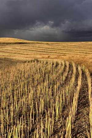 Storm Clouds Saskatchewan over combined canola field Stock Photo - 16232384