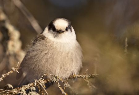 Baby Gray Jay camp robber northern Saskatchewan photo