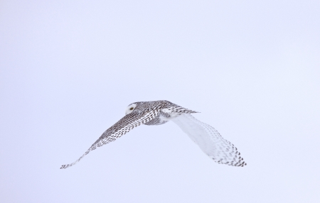 Snowy Owl in Flight winter Saskatchewan Canada photo