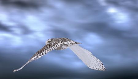 Snowy Owl in Flight winter Saskatchewan Canada photo