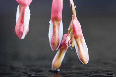 Macro Bleeding Heart flower close up in studio Stock fotó - 29345317
