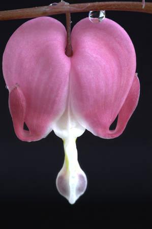 Macro Bleeding Heart flower close up in studio Stock fotó - 29344171