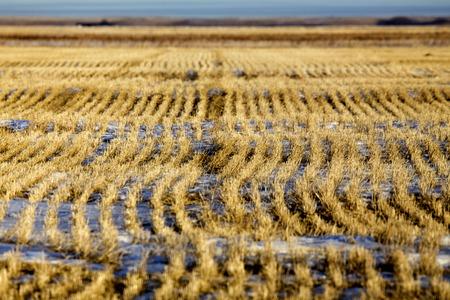 Prairie Landscape in winter Saskatchewan Canada stubble field Imagens
