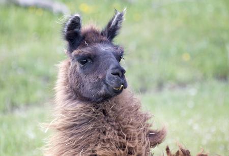 alpaca: Llama Alpaca on a farm in Canada Stock Photo