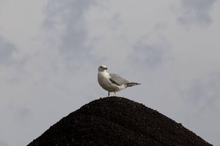 gravel pit: Seagull on Gravel Pit Storm Clouds Saskatchewan Canada Stock Photo