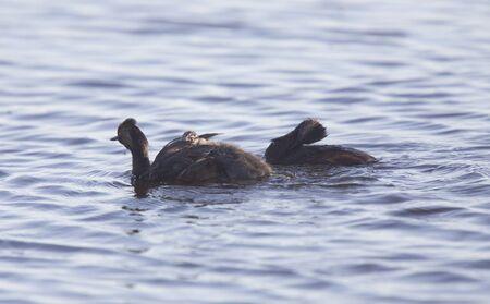 eared: Eared Grebe with Babies Saskatchewan Marsh Canada