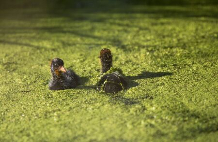coot: American Coot Waterhen and Babies in Marsh Canada Stock Photo