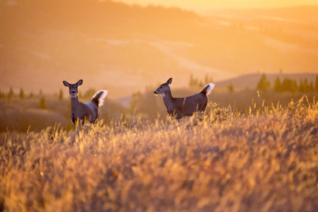 white tail deer: Cypress Hills Sunset Elkwater Alberta Horeshoe Canyon