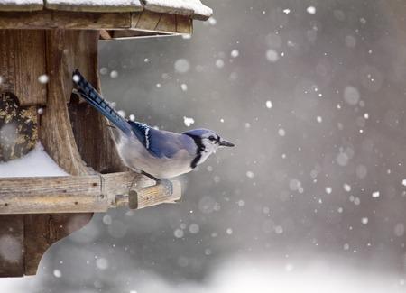 frozen winter: Blue Jay at Bird Feeder Winter Snow Storm Canada