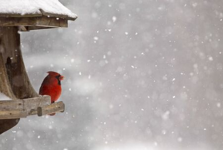 snow cardinal: Cardinal at Bird Feeder Snow Storm Canada Male Red