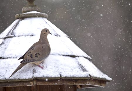 bluejay: Mourning Dove in Winter at Bird Feeder snowy winter Canada
